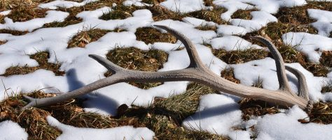 A shed bull elk antler lays on top of the melting snow in Colorado. Photograph by Michael Patrick McCarty