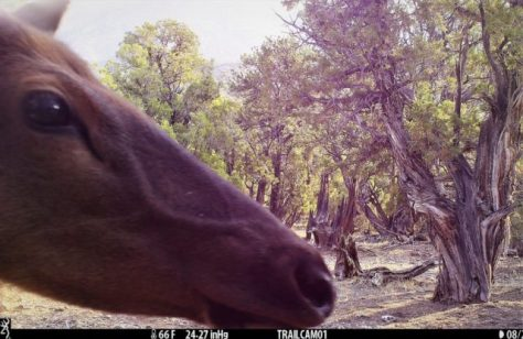A Close-Up Game Camera Photograph of A Cow Elk From Northwestern Colorado. Photograph By Michael Patrick McCarty