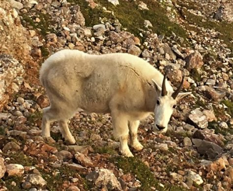 A Rocky Mountain Goat Looks Back At The Photographer, While Out On A Morning Mountain Stroll Somewhere In The Madison Range in Southwestern Montana
