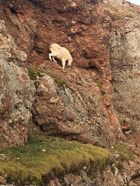 A Rocky Mountain Goat, Climbing Down A Steep Rock Face To Reach His Bedding Place. Photograph Taken In The Madison Range of Southwestern Montana. Posted by Michael Patrick McCarty