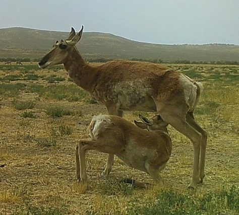 A Doe Pronghorn Antelope Nurses A Fawn In The Red Desert Of Northern Colorado. Photograph By Michael McCarty