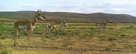 Several Doe Pronghorn Antelope Watch The Horizon For Possible Danger In The Red Desert of Northwestern Colorado. Photograph By Michael Patrick McCarty