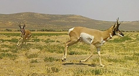 Two Pronghorn Antelope Bucks Running Towards A Waterhole In The Red Desert of Northern Colorado. Photograph By Michael McCarty