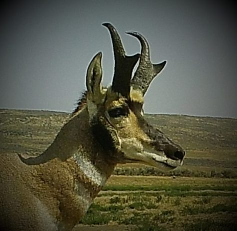 A Pronghorn Antelope Buck In The Red Desert of Northern Colorado. Photograph By Michael Patrick MCarty