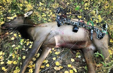 A Young Cow Elk, Harvested With A Compound Bow In Western Colorado.