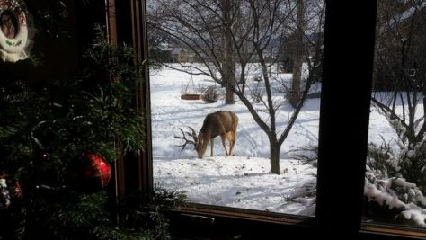 A Mule Deer Buck Feeds Contently In the Winter Snow Of Colorado, Seen Outside the Window, With A Christmas Tree In The Foreground.