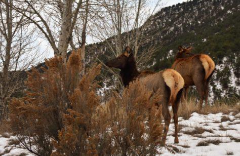 Cow Elk On Winter Range in Snow