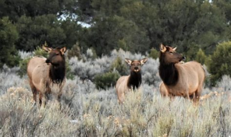 A Small Herd Of Elk Feed On A Sagebrush Flat In Western Colorado. Photograph by Michael Patrick McCarty
