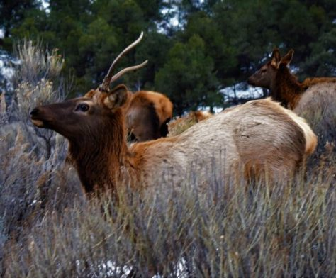 A Spike Bull Elk Moves Alertly Through The Brush With An Elk Herd In Northwestern Colorado. Photograph By Michael Patrick McCarty