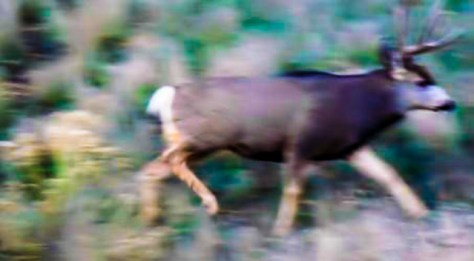 A Trophy Mule Deer Searches For Receptive Mule Deer Does During The Annual Rut And Breeding Season
