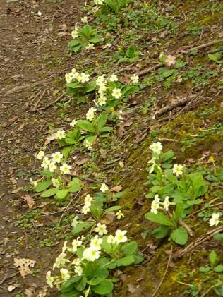 primroses_lindagordon_150402_005