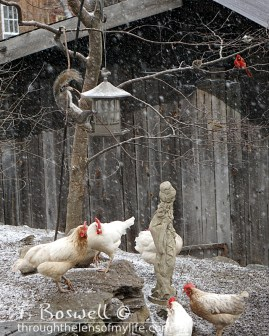 DSC06333-2-snowing-squirrel-chickens-cardinal-8x10-terry-boswell-wm