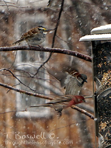 DSC06395-2-flying-sparrow-finch-feeder-snow-3x4cp-terry-boswell-wm