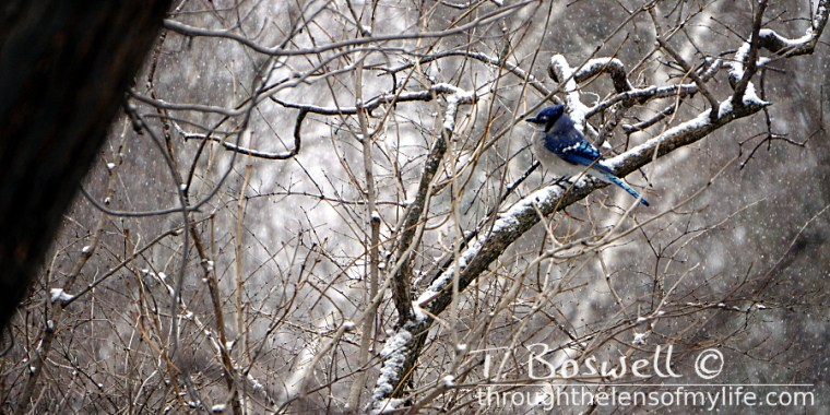 DSC06516-2-blue-jay-snowing-4x2cp-terry-boswell-wm
