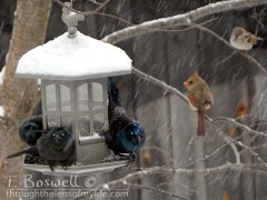 DSC06833 2-scary-grackles-snowing-4x3cp-terry-boswell-wm