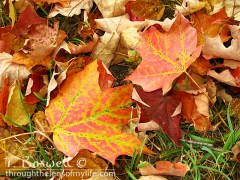 IMG-7857-2-orange-fallen-leaves4x3-terry-boswell-wm