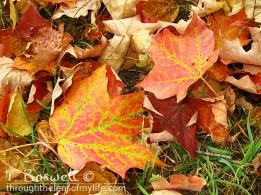 IMG-7857-2-orange-fallen-leaves4x3-terry-boswell-wm