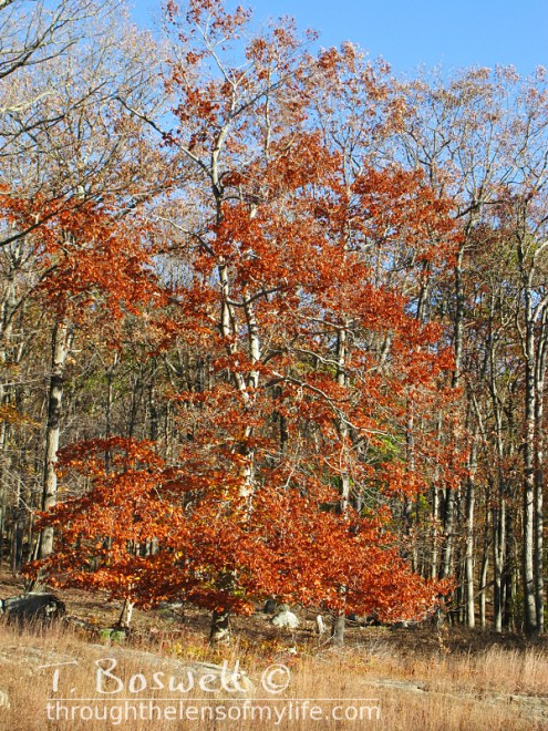 IMG-9221-2-orange-fall-tree-3x4-terry-boswell-wm