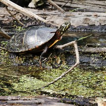DSC00939-2cp1x1-painted-turtle-wallkill-river-wm