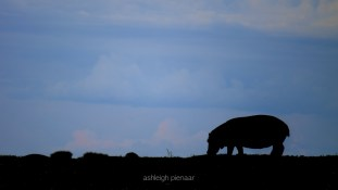 A silhouetted hippo