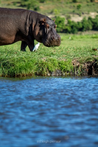 A hippo and cattle egret
