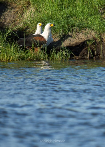 A mating pair of fish eagles