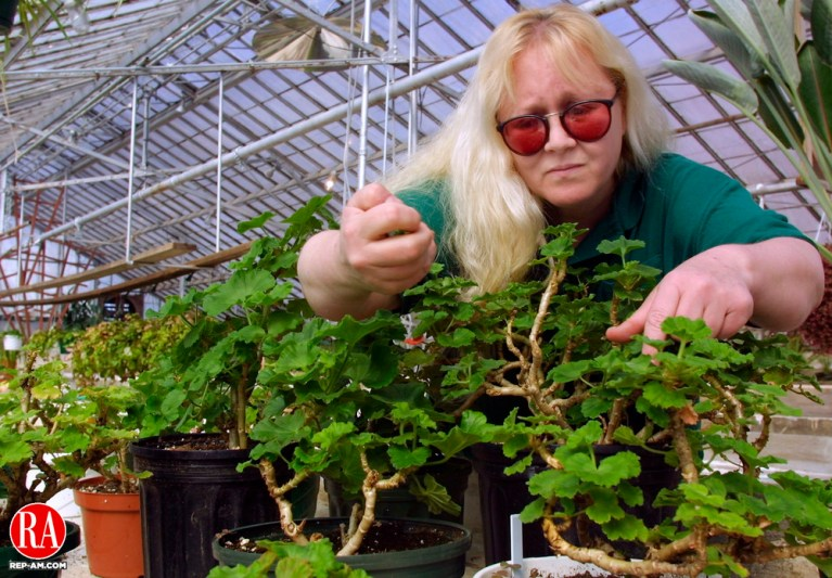 WATERBURY, CT 3/19/01--0319TK06.01  Michelle Matusevice, a horticulturist at the ï Waterbury Parks Department greenhouse in Fulton Park pinches off flower buds on a Geranium plant to promote a stronger leaf growth. They will be among the plants available to the public for purchase at the 11th Annual Mother Day Plant Sale on May 12 at the Fulton Park Green House in cooperation with North End Middle School  horticultural program called ñThe green Thumb Project.î  --TOM KABELKA staff photo for STANDALONE PHOTO