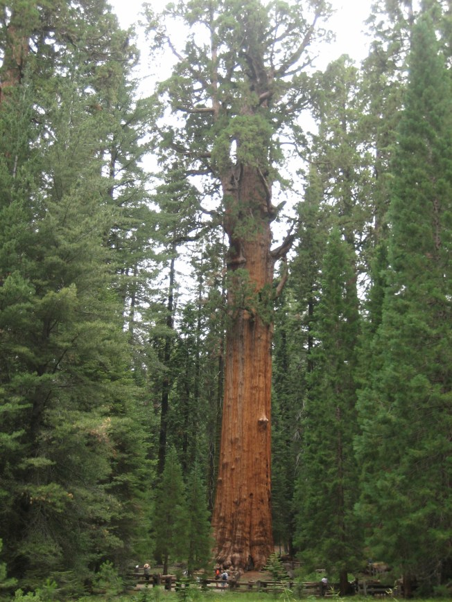 The General Sherman Tree from a distance.