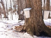 Maple trees tapped for sap collection