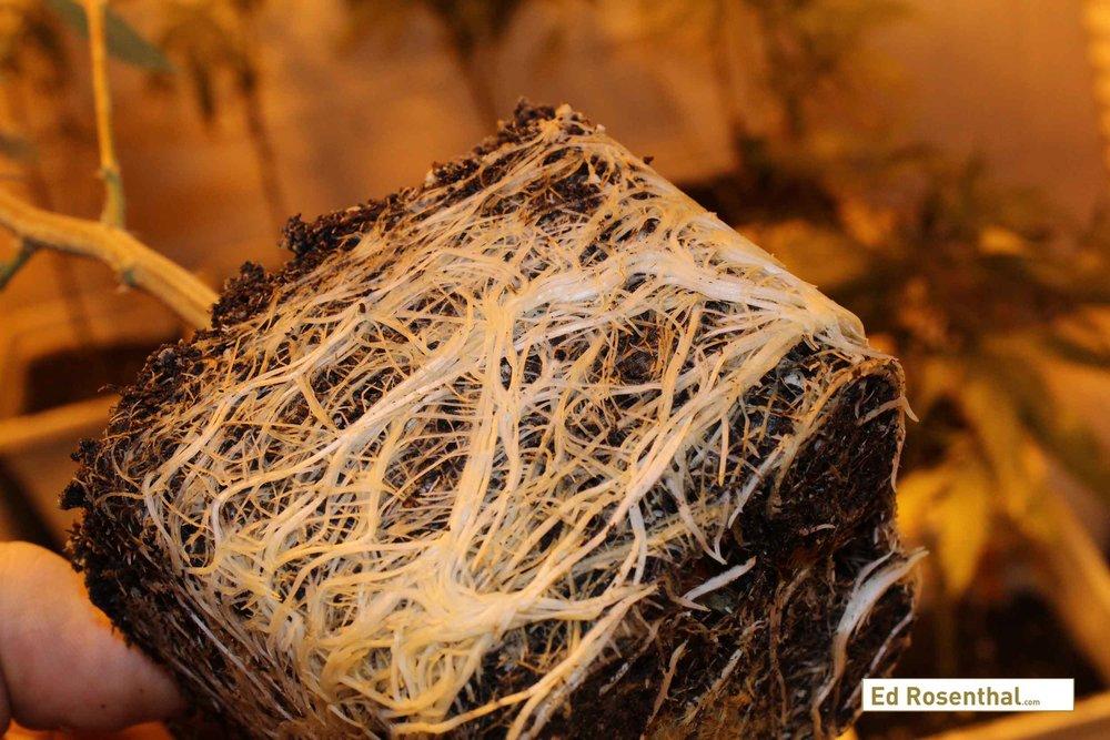 Sistema radicula de una planta adulta de cannabis durante el proceso de trasplante