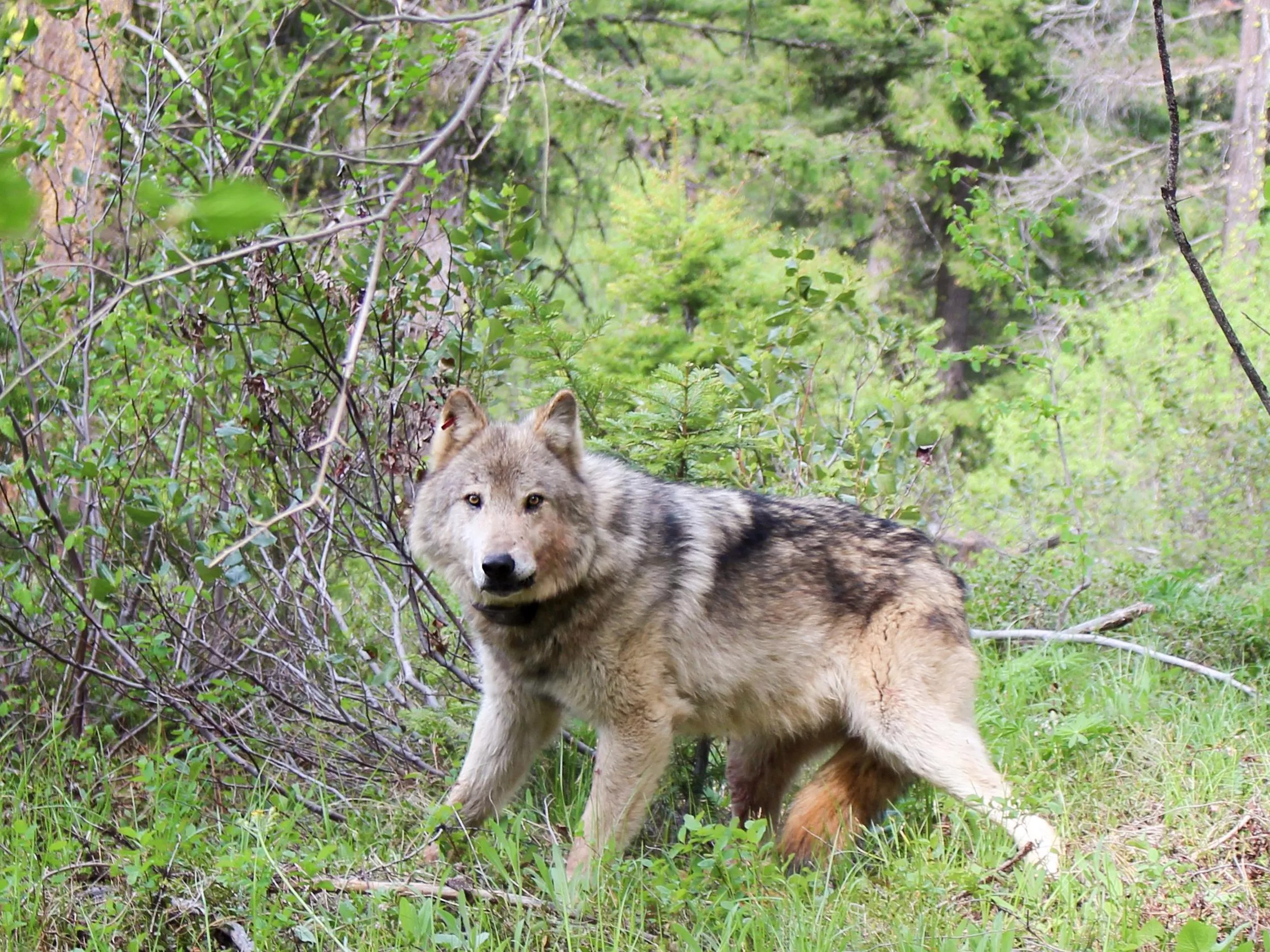 The cascade mountain wolf was a subspecies of the gray wolf, canis lupus, and was normally found in british columbia, oregon, and washington. As Washington S Wolf Population Continues To Grow Some Wonder When Will They Spread Out The Spokesman Review