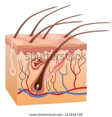 human skin hair structure vector illustration stock vector shutterstock