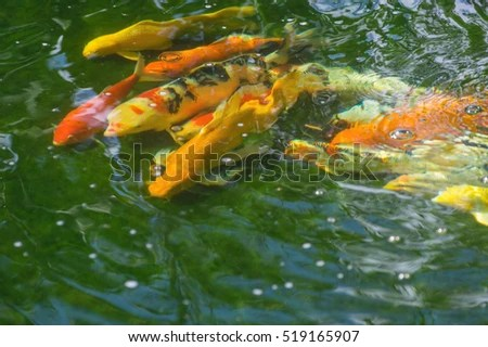Fancy Goldfish Stock Photos Royalty Free Images Amp Vectors