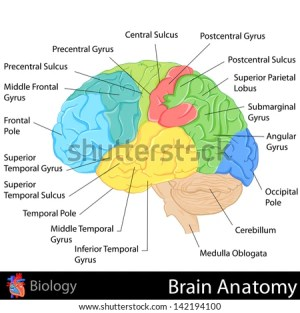 Human Brain Diagram Stock Photos, Images, & Pictures