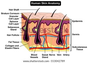 Human Body Skin Anatomy Diagram Infographic Stock Vector