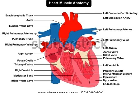 Interior heart structure electronic wallpaper electronic wallpaper of internal heart diagram electrical wiring diagram heart anatomy article about heart anatomy by the free dictionary rh encyclopedia thefreedictionary ccuart Images