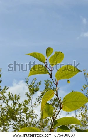 Japanese Knotweed Stock Images, Royalty-Free Images ...