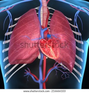 Heart And Lungs Stock Images, RoyaltyFree Images