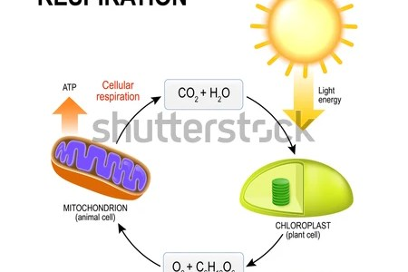 Interior photosynthesis chart hd images wallpaper for downloads stages light dependent reactions and the calvin cycle light independent reactions leaf anatomy diagram photosynthesis chlorophyll molecule stock leaf ccuart Choice Image