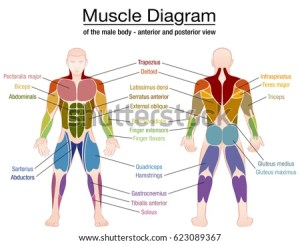 Human Body Muscles Different Colors Text Stock Vector 529930192  Shutterstock