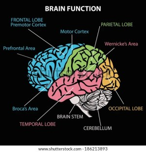 Brain Function Diagram Vector Stock Vector 156803342  Shutterstock