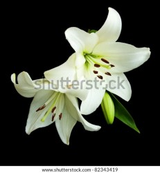 White lilies on a black background - stock photo