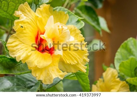 Close Yellow Hibiscus Flowerpaper Flowers Hibiscus Stock Photo     close up a yellow hibiscus flower paper flowers  Hibiscus rosa sinensis shoe