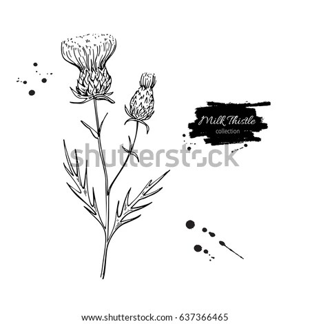Thistle Illustration Stock Images Royalty Free Images