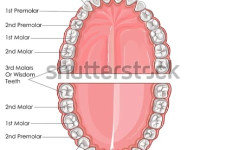 Map Of Human Teeth 4k Pictures 4k Pictures Full Hq Wallpaper
