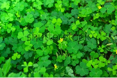 Flower shop near me clover with yellow flowers flower shop clover with yellow flowers the flowers are very beautiful here we provide a collections of various pictures of beautiful flowers charming mightylinksfo