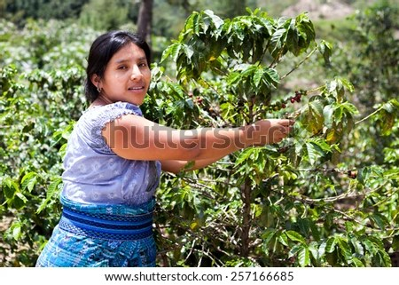 Indigenous Latin American woman is harvesting ripe coffee berries on organic coffee farm. Food and drink coffee background. - stock photo