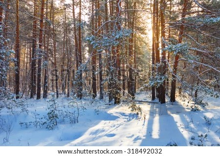 Pine Trees Covered Snow On Frosty Stock Photo 528166054 ...