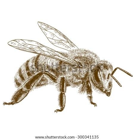 Vector Engraving Antique Illustration Honey Bee Stock
