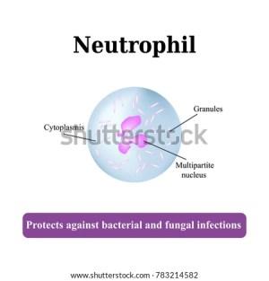 Neutrophil Stock Images, RoyaltyFree Images & Vectors